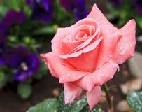 Rosa Rosen- und Wassertropfen Stockbilder