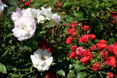 Rosa Rosen und weiße Blumen Stockfotografie