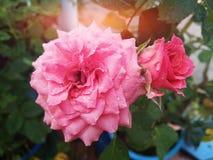 Rosa Rosenblumenstrauß der Blüte mit Wassertropfen Lizenzfreies Stockbild