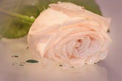 Rosa Rosenwassertropfen Lizenzfreies Stockfoto