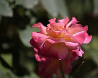 Rosa Stock Images