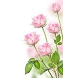 Rosa rosgrupp på vit bakgrund Royaltyfri Bild