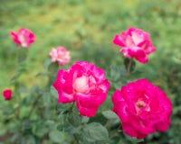 Rosa rosor Arkivbilder