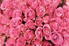 Rosa rosor Arkivfoto