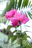 Rosa rosor Royaltyfria Bilder