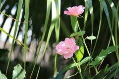 Rosa rosor av naturen Arkivbild