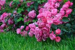 Rosa rosor för blomning i trädgården Royaltyfri Foto