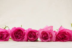 Rosa rosor från sidosikt Arkivfoton