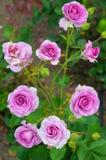 Rosa rosor i blom Fotografering för Bildbyråer