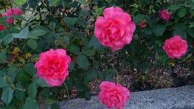 Rosa rosor i din mening arkivfoto