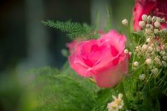 Rosa rosor i en beautifully landskap trädgård på en grön backgro Arkivfoton