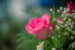 Rosa rosor i en beautifully landskap trädgård på en grön backgro Arkivfoto