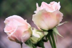 Rosa rosor i vår Royaltyfri Fotografi