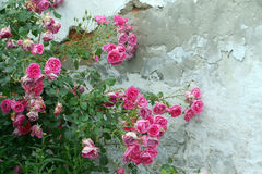 Rosa rosor längs den gamla väggen Arkivfoton