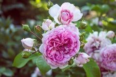 Rosa rosor med knoppar Arkivbilder