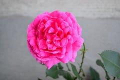 Rosa rosor med oavkortad blom för många kronblad arkivbilder
