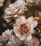 Rosa rosor med tappningeffekt Arkivfoton