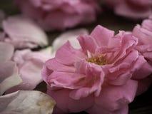 Rosa rosor på det gamla trägolvet royaltyfri foto