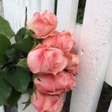 Rosa rosor på ett staket arkivbild