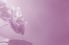 Rosa rosor på suddig bakgrund - abstrakt begrepp royaltyfria foton