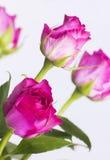 Rosa rosor på vit bakgrund Arkivbilder