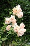 Rosa rosor som blommar i en trädgård Royaltyfria Foton