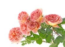 Rosa rosor som isoleras på vit Royaltyfri Bild