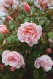 Rosa rosor växer på en buske i naturliga villkor, med regndroppar på kronbladen arkivfoton