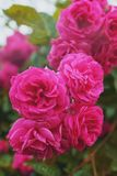 Rosa rosor v?xer p? en buske i naturliga villkor, med regndroppar p? kronbladen royaltyfria bilder