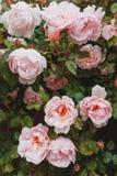 Rosa rosor v?xer p? en buske i naturliga villkor, med regndroppar p? kronbladen royaltyfri fotografi
