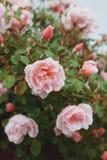 Rosa rosor v?xer p? en buske i naturliga villkor, med regndroppar p? kronbladen royaltyfri foto