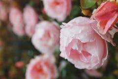 Rosa rosor v?xer p? en buske i naturliga villkor, med regndroppar p? kronbladen royaltyfria foton