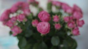 Rosa rospush i dockaskott