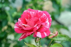 Rosa rosRose Home Gardening Planting Stock foto royaltyfria bilder