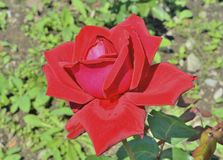 Rosa rossa 19 Fotografia Stock Libera da Diritti