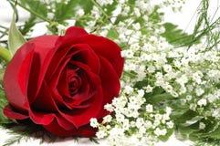Rosa rossa fotografia stock libera da diritti
