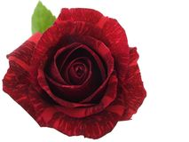 Rosa rossa Immagine Stock Libera da Diritti