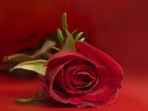 Rosa rossa Immagini Stock Libere da Diritti