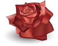 Rosa rossa Fotografie Stock