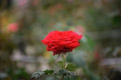 Rosa rossa al parco floreale fotografia stock