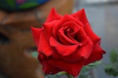 Rosa rossa alta vicina di bellezza nella collina con il giardino Fotografia Stock