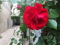 Rosa rossa aperta Immagini Stock