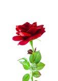 Rosa rossa artificiale di amore Immagini Stock