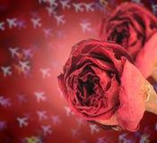 rosa rossa asciutta doppia sul bokeh dell'aeroplano della sfuocatura Immagine Stock Libera da Diritti