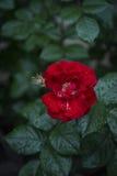 Rosa rossa bagnata dopo la pioggia Fotografia Stock