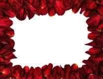 Rosa rossa - blocco per grafici Fotografia Stock Libera da Diritti
