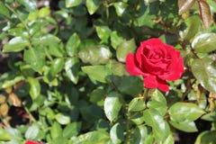Rosa rossa, cartolina Immagine Stock Libera da Diritti