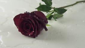 Rosa rossa che cade sul fondo bianco con il video del metraggio delle azione del movimento lento dell'acqua archivi video