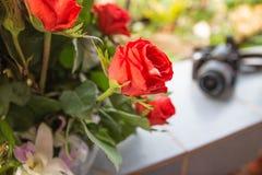 Rosa rossa come fondo della sfuocatura e naturale della macchina fotografica di viaggio Fotografia Stock