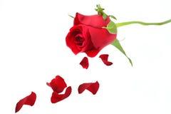 Rosa rossa con i petali Fotografia Stock